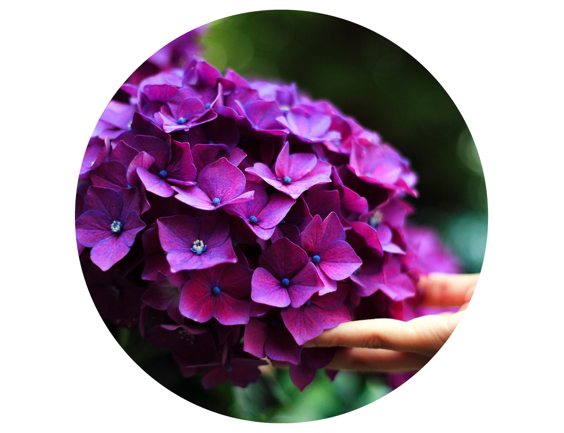 Picture of Singing Tree Garden Hydrangeas
